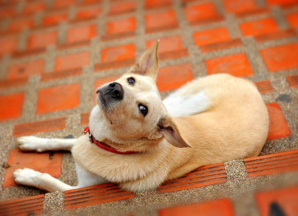 Prostate Gland Enlargement in Dogs