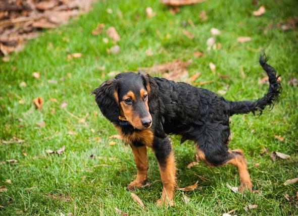 Melena In Dogs Goldenacresdogs Com
