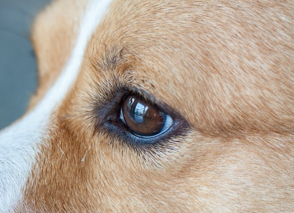 Bald Patch Above Dog S Eye