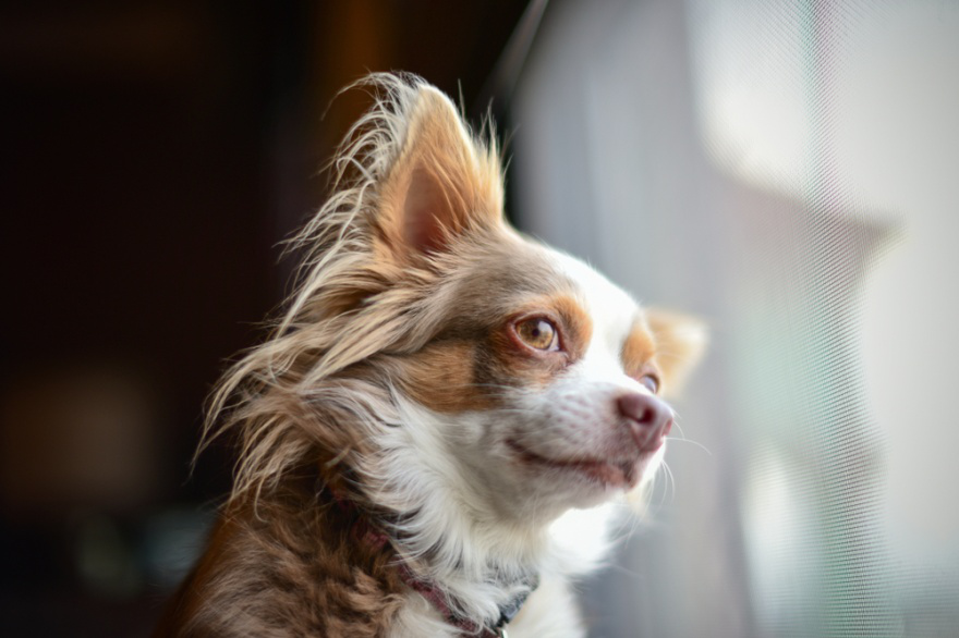 Top Dog Food Brands for Chihuahuas - LIFE WITH DOGS