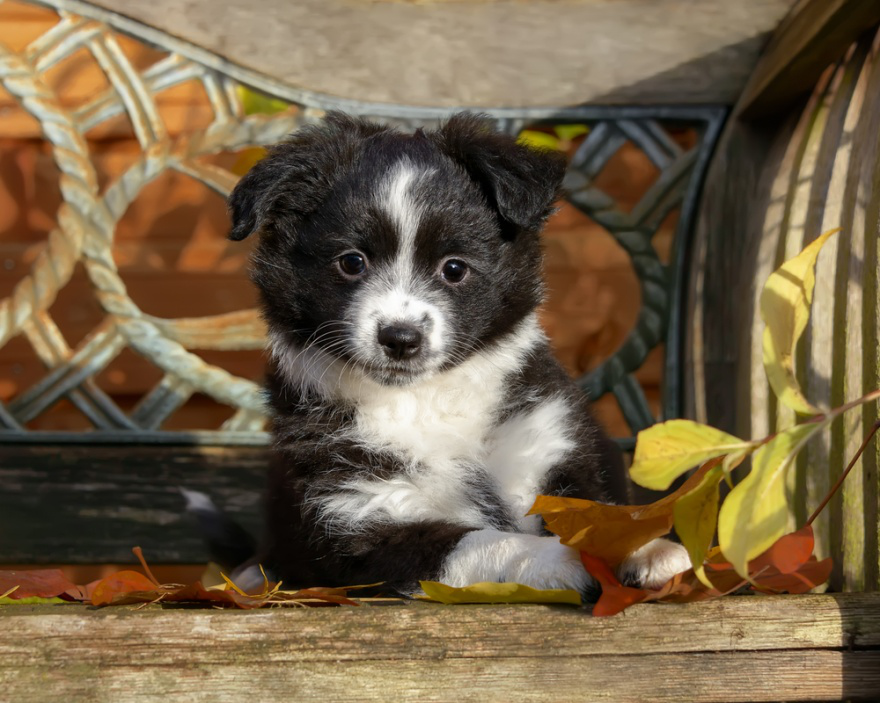 Top Dog Food Brands for Miniature American Shepherds - LIFE WITH DOGS