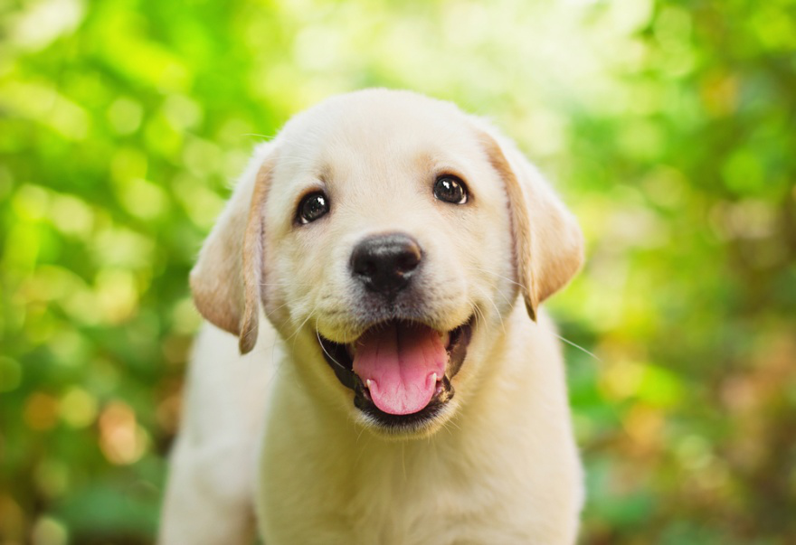 Top Dog Foods for Labrador Retrievers - LIFE WITH DOGS